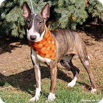 Bull Terrier Dog for adoption in Barrington, Illinois - Pixie