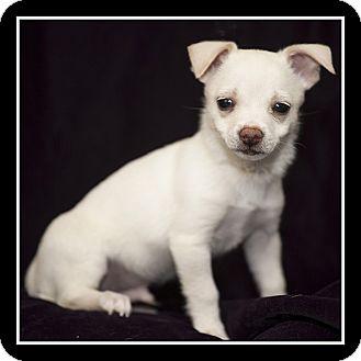 Chihuahua/Maltese Mix Puppy for adoption in San Diego, California - Hugo