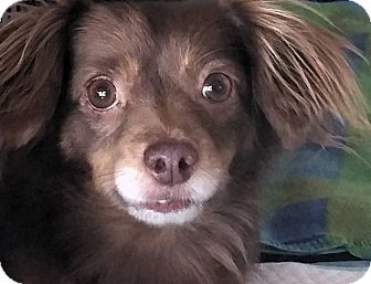 Dachshund/Chihuahua Mix Dog for adoption in Los Angeles, California - Lyle Lovett