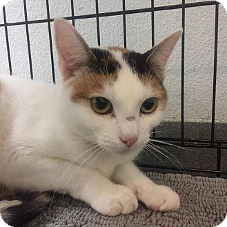 Domestic Shorthair Kitten for adoption in Westminster, California - Carnation