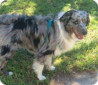 Australian Shepherd Mix Dog for adoption in Navarre, Florida - Murdock