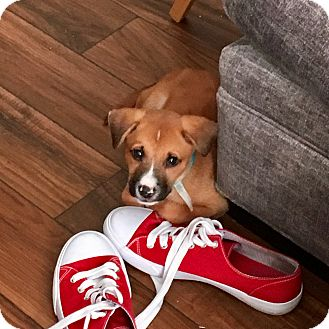 Black Mouth Cur Mix Puppy for adoption in Redmond, Washington - Casey