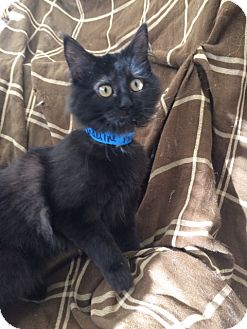 Domestic Mediumhair Kitten for adoption in University Park, Illinois - Adeline