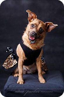 Wirehaired Fox Terrier/Border Terrier Mix Dog for adoption in Atlanta, Georgia - Sylvee