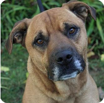 Mountain Cur Mix Dog for adoption in Red Bluff, California - SCOOBY