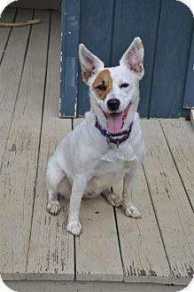 Jack Russell Terrier/Australian Shepherd Mix Dog for adoption in Lebanon, Maine - Sydney