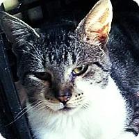 Adopt A Pet :: Blizzard - East Brunswick, NJ