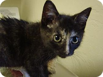 Domestic Shorthair Kitten for adoption in Cushing, Oklahoma - MONDAY-adopted