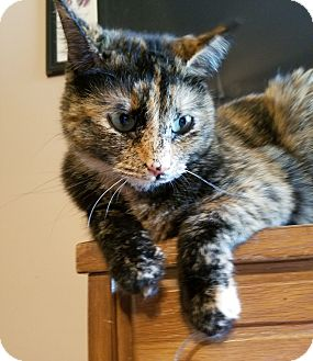 Domestic Shorthair Cat for adoption in Knoxville, Tennessee - Tallulah