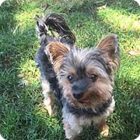 Adopt A Pet :: Emerson - N. Babylon, NY