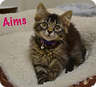 Domestic Shorthair Kitten for adoption in Atlanta, Georgia - Aims     171173