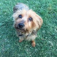 Silky Terrier/Yorkie, Yorkshire Terrier Mix Dog for adoption in Bethany, Oklahoma - Maggie