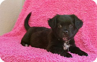 Spaniel (Unknown Type) Mix Puppy for adoption in Los Angeles, California - Breana