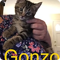 Adopt A Pet :: Gonzo - Covington, KY