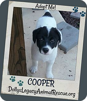 Labrador Retriever Mix Puppy for adoption in Lincoln, Nebraska - COOPER