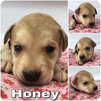 Labrador Retriever/Shepherd (Unknown Type) Mix Puppy for adoption in Waxhaw, North Carolina - Honey