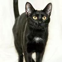 Adopt A Pet :: Becca - Cashiers, NC