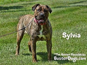 Mastiff Mix Dog for adoption in Belleville, Michigan - Sylvia