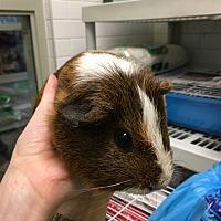 Adopt A Pet :: Big Boy - Pittsburgh, PA