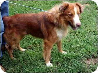 Australian Shepherd Dog for adoption in Dahlonega, Georgia - Duke