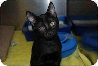 Domestic Shorthair Kitten for adoption in Putnam Hall, Florida - Justice