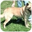 Photo 2 - Shepherd (Unknown Type)/Belgian Malinois Mix Dog for adoption in Cincinnati, Ohio - Chip