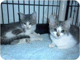 Domestic Shorthair Cat for adoption in Shelbyville, Kentucky - Elsa
