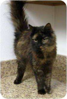 Persian Cat for adoption in Overland Park, Kansas - Mitzey