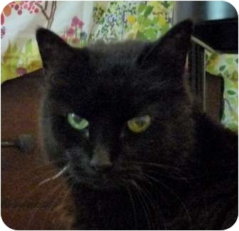 Domestic Shorthair Cat for adoption in Houston, Texas - Moonshine - Declawed