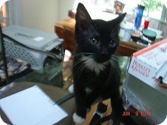 Domestic Shorthair Kitten for adoption in Smithfield, North Carolina - Ollie