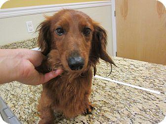 Dachshund Dog for adoption in Oak Ridge, New Jersey - Jonas-LONGHAIR