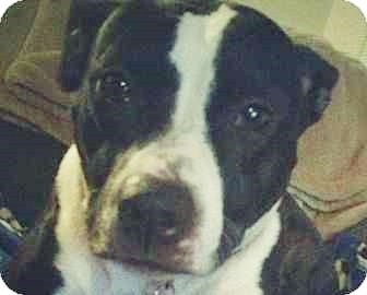 American Pit Bull Terrier Dog for adoption in Dayton, Ohio - Dahlia CP