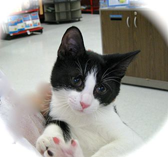 Domestic Shorthair Kitten for adoption in Fort Wayne, Indiana - Frannie