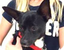 Chihuahua/Italian Greyhound Mix Dog for adoption in Myakka City, Florida - Aladdin