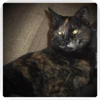 Domestic Shorthair Cat for adoption in Medford, Wisconsin - DAISY