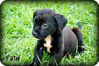 Labrador Retriever/Terrier (Unknown Type, Small) Mix Puppy for adoption in Grand Bay, Alabama - Faith