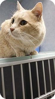 Domestic Shorthair Cat for adoption in Cody, Wyoming - Cedar