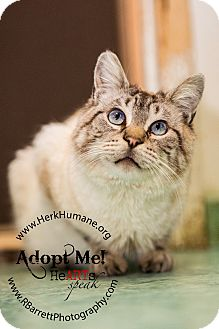 Siamese Cat for adoption in Mohawk, New York - Chachi