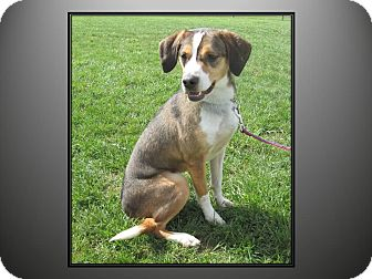 Beagle/Hound (Unknown Type) Mix Dog for adoption in LaGrange, Kentucky - BEANS