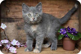 Domestic Shorthair Kitten for adoption in Germantown, Maryland - Ella