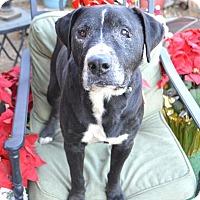 American Staffordshire Terrier/Labrador Retriever Mix Dog for adoption in Toluca Lake, California - Pops