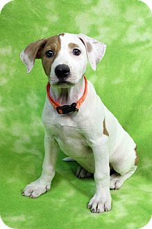 Catahoula Leopard Dog/American Bulldog Mix Puppy for adoption in Westminster, Colorado - GINA