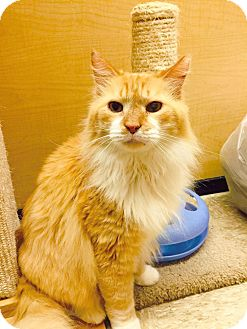 Domestic Longhair Cat for adoption in Arlington/Ft Worth, Texas - Tigger