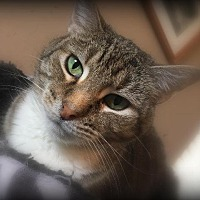 Domestic Shorthair Cat for adoption in St. Louis, Missouri - Norma