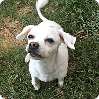 Chihuahua Mix Dog for adoption in Calgary, Alberta - Dex
