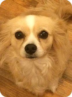 Papillon Mix Dog for adoption in Fullerton, California - Maggie