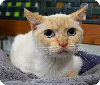 Domestic Shorthair Cat for adoption in Michigan City, Indiana - Flicker