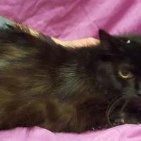 Domestic Longhair/Domestic Shorthair Mix Cat for adoption in Twinsburg, Ohio - Evie
