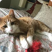 Domestic Shorthair Cat for adoption in Centennial, Colorado - Liam
