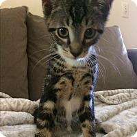 Adopt A Pet :: Cutie Pie - she is beautiful - Randolph, NJ
